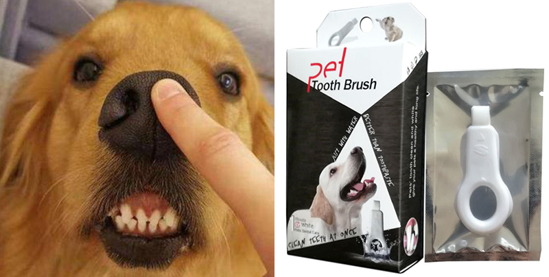 How to brush golden retriever dog teeth